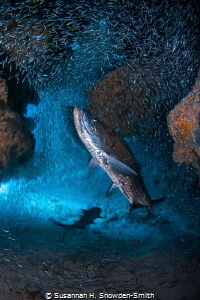 """""""Eyes On The Prize"""" - A tarpon eyes its prey of silversid... by Susannah H. Snowden-Smith"""