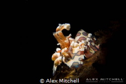 The star of the show! A harlequin shrimp poses for the ca... by Alex Mitchell