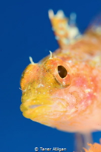mediterranean blenny with SMC by Taner Atilgan