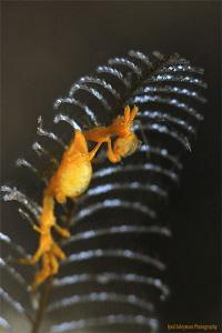 Skeleton Shrimp with eggs!  Caprella spp. by Iyad Suleyman