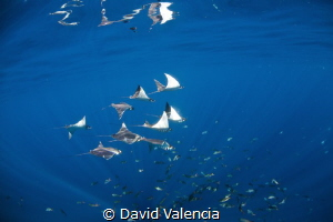 Mobulas surface feeding. Cabo San Lucas, Mexico by David Valencia