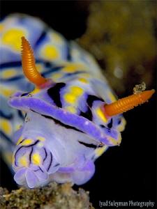 Nudibranch while eating by Iyad Suleyman