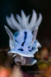 Chromodoris willani by Pat Gunderson