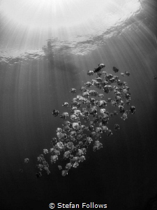 Your place or mine? Longfin Batfish - Platax teira. Sail ... by Stefan Follows
