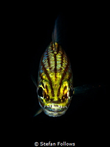 Grrrrrr ... ! Cardinalfish - Apogonidae sp. Chaloklum, Th... by Stefan Follows
