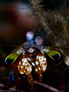 Mantis Shrimp... It's about colors! by Iyad Suleyman