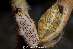 """""""Mix N Match"""" A Flamingo Tongue and Fingerprint Cyphoma ... by Chase Darnell"""