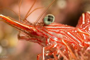 Red army shrimp. Nikon D7100 + Nikkor 105 + Nauticam SMC by Mehmet Salih Bilal