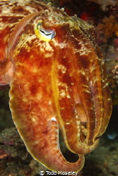 posing cuttlefish by Todd Moseley