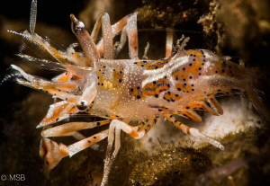 Tiger shrimp in night dive. by Mehmet Salih Bilal