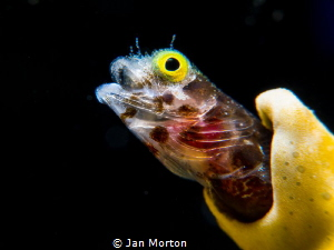 Secretary Blenny -  Popping out.   Olympus EM-1 using 60m... by Jan Morton