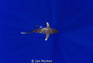 Oceanic White Tip Female below.  Image captured on Olympu... by Jan Morton