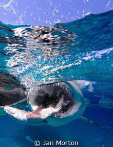 Lemon Shark feeding at the surface.  Olympus EM-1.  Cropp... by Jan Morton