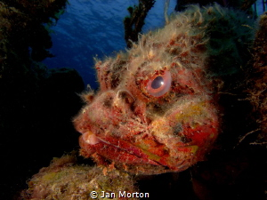 Scorpion Fish - James Bond Wreck Reef, Nassau, Bahamas.  ... by Jan Morton