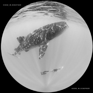 Whale shark coexisting with free diver by Ken Kiefer