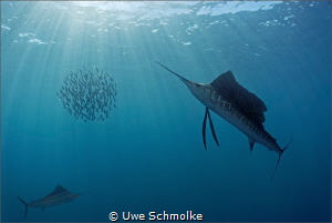 Sailfish hunting by Uwe Schmolke