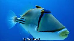 Picasso Triggerfish - Gota abu Ramada Acquario Hurghada by Gio Berti