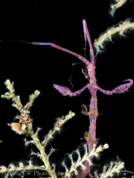 Caprellidae A.K.A. Skeleton shrimp @ Tulamben, Indoneisa. by Hon Ping Kong