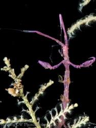 Caprellidae A.K.A. Skeleton shrimp @ Tulamben, Indoneisa. by Hon Ping Kong
