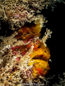 """Dave's not here man..."" Frogfish - Antennarius sp. Chalo... by Stefan Follows"