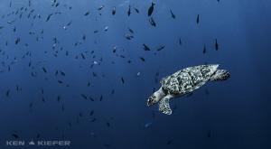 Hawksbill Turtle in Cozumel by Ken Kiefer