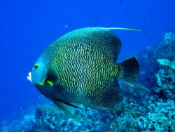French Angelfish striking a pose in Cozumel. by Stephanie Puttre