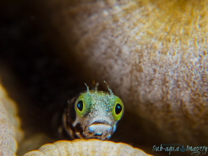 Secretary Blenny in Awe ;  Full Frame No Crop.  Oly OMD E... by Jan Morton
