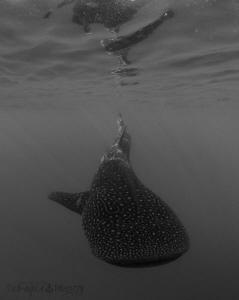 Isla Lady Female Whale Shark in B&W. by Jan Morton