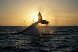 The photo is the fluke of a humpback whale , taked near C... by Adalberto Herrera