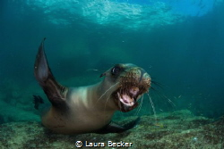 playful teen sea lion trying to bite my camera in the sea... by Laura Becker