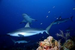Shark Dive - Rotan Honduras Jan 2006 by Ken Mcpherson