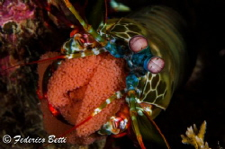 A beautiful peacock mantis shrimp protecting her eggs by Federico Betti
