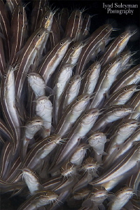 Striped Eel Catfish by Iyad Suleyman