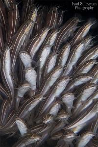 Striped Eel Catfish by Iyad Suleyman