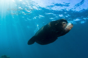 Male Sea Lion with sunrays, La Paz Mexico by Alejandro Topete