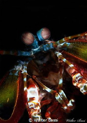 mantis shrimp,face by Walter Bassi