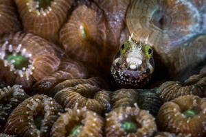 Secretary Blenny ... these little guys have such great ex... by Jim Garber