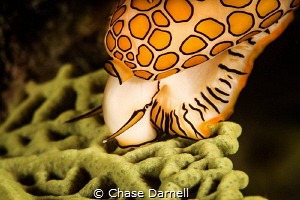 """""""Snack Time"""" Feeding Flamingo Tongue by Chase Darnell"""