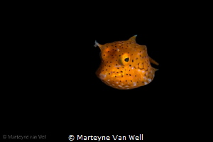 Juvenile Cowfish by Marteyne Van Well