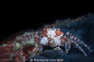 Boxer Crab by Marteyne Van Well