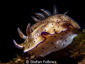 Rolling Stone ... ! Nudibranch - Hypselodoris tryon. Ang ... by Stefan Follows