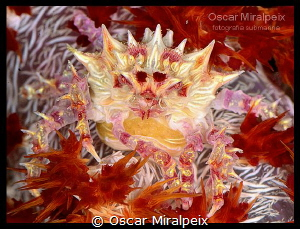 candycrab with eggs by Oscar Miralpeix