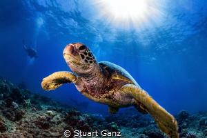 Honu sunburst by Stuart Ganz