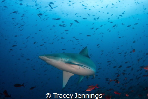 Thankfully the Galapagos Shark swerved at the last moment... by Tracey Jennings
