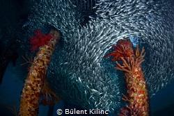 Sardines by Bülent Kılınc