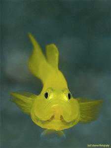 yellow goby by Iyad Suleyman