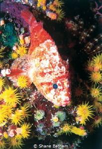 Pygmy Scorpion Fish, night dive by Shane Batham