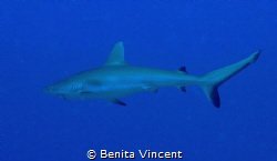 The hook remains, but this lovely shark lives by Benita Vincent