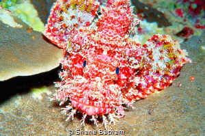 scorpion fish, night dive by Shane Batham