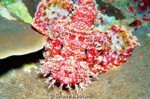 scorpion fish, night dive by Shane Batham